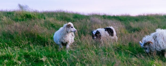 Picture of sheep in open field
